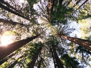 photo of the tops of redwood trees forming a circle overhead, taken from below., with sun peaking through the branches and trees.